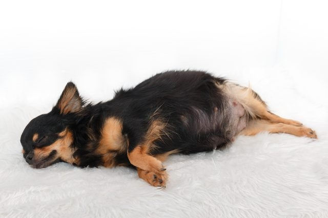 определить беременность собаки на ранних сроках