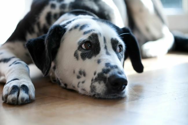 как определить чумку у собаки
