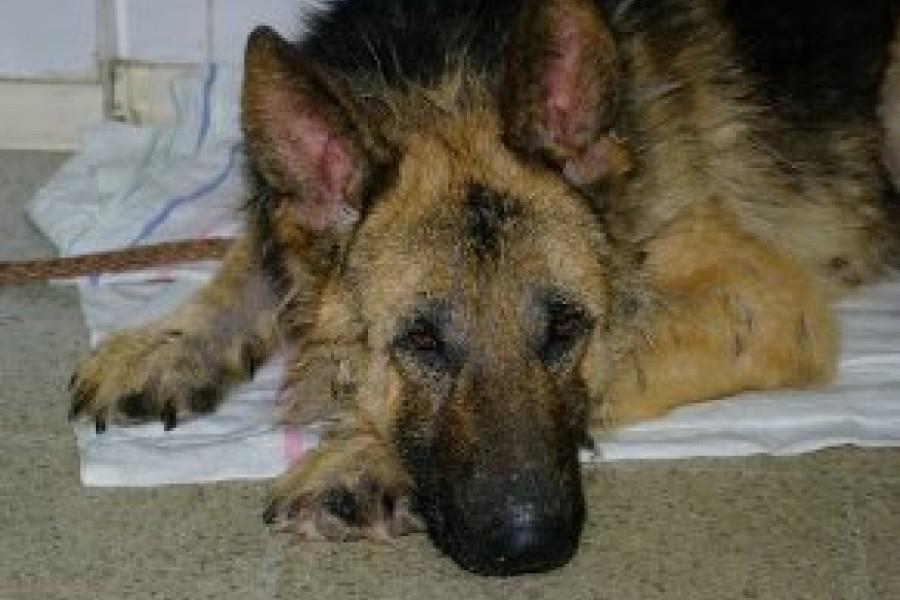 лечение чумки у собак водкой