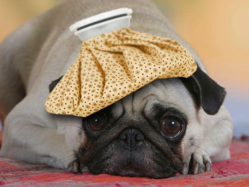 признаки простуды у собак