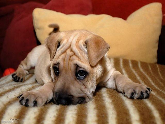 рахит у собак симптомы и лечение