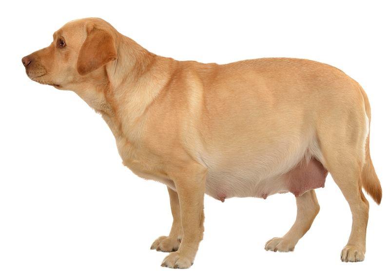 календарь беременности собак