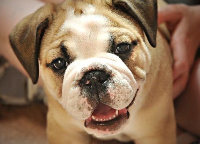 смена зубов у собак мелких пород