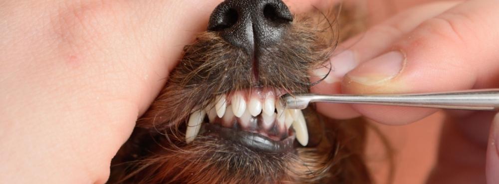 когда у щенков меняются молочные зубы