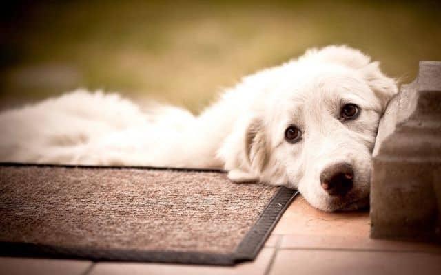 почему собака писает кровью