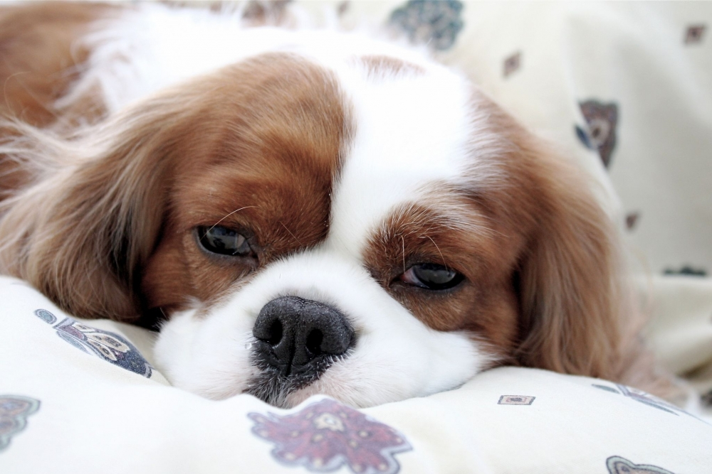 золотистый стафилококк у собак