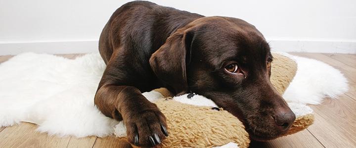 у собаки сильно урчит в животе