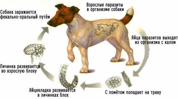 как выглядят глисты у собак в кале