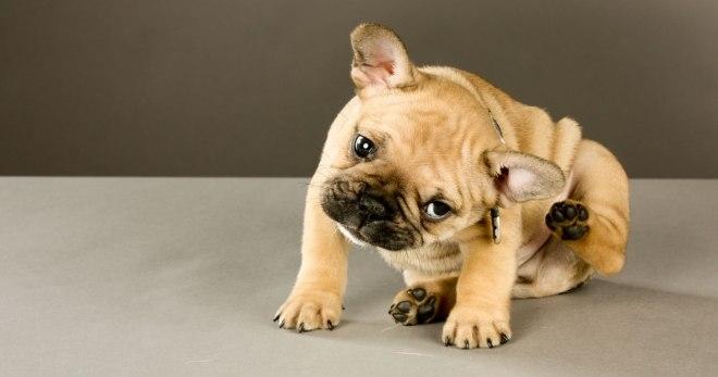 власоеды у собак симптомы