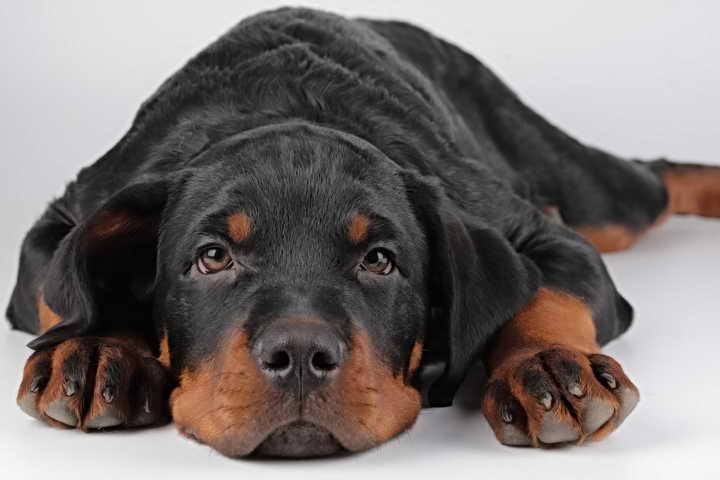 волосяной клещ у собак лечение