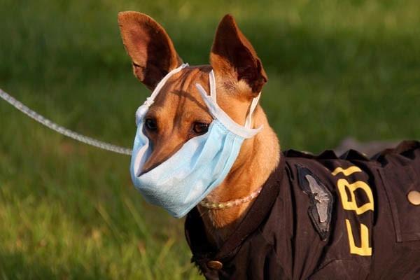 питомниковый кашель у собак лечение