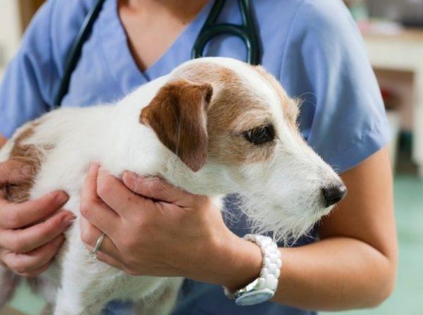 вздутие живота у собаки причины